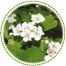 "<a href=""http://www.euromedweb.com/euromed/hawthorn-dry-extract/"">Hawthorn Dry Extract</a>"
