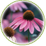 "<a href=""http://www.euromedweb.com/euromed/echinacea-dry-extract/"">Echinacea Dry Extract</a>"