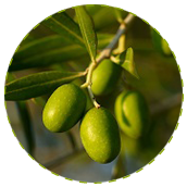 "<a href=""http://www.euromedweb.com/euromed/mediteanox/"">Olive Fruit Extract</a>"